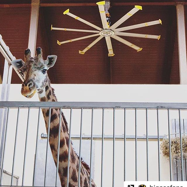 Still no baby giraffe? Our friends over at @bigassfans have a COOL idea! #repost @bigassfans with @repostapp・・・If #ApriltheGiraffe had a Big Ass Fan like the one in the Giraffe House at @louisvillezooofficial, she probably would have had that baby by now. #science #facts #animaladventurepark #NewYorkZoo